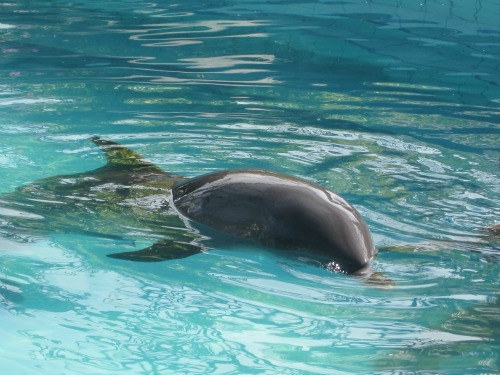 Swimming dolphin at Lovina Hotel
