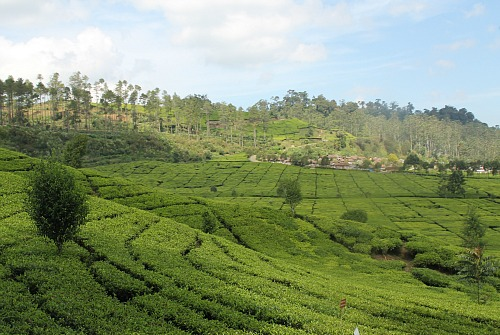 Malabar Tea plantation nearby Bandung West Java