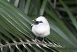 White Bali Starling in West Bali National Park