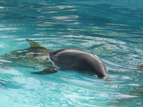 Swimming dolphin at Lovina Hotel