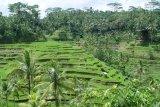 Beautiful Rice Terrace in Ubud